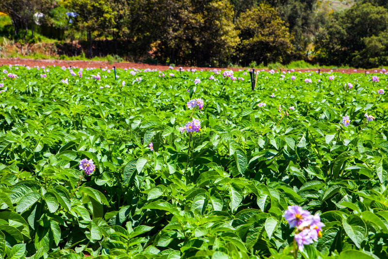 Potato field. Potato fiel with a lot of plants with flowers royalty free stock photography