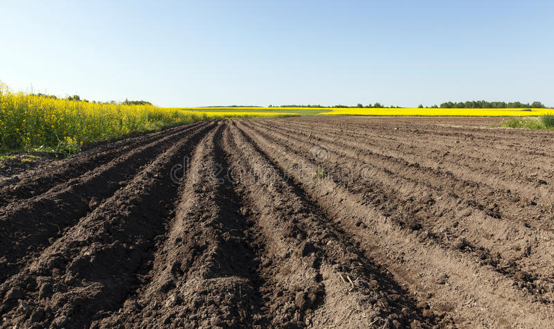 Potato field . furrow. Agricultural field on which grow potatoes. furrow stock photography