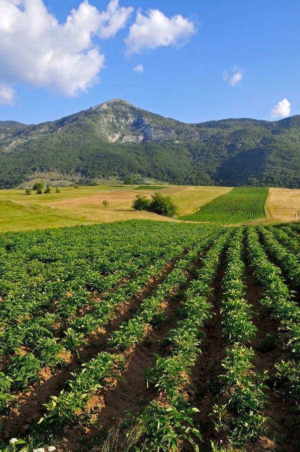 Free Potato Field Landscape Stock Photo - 37460300