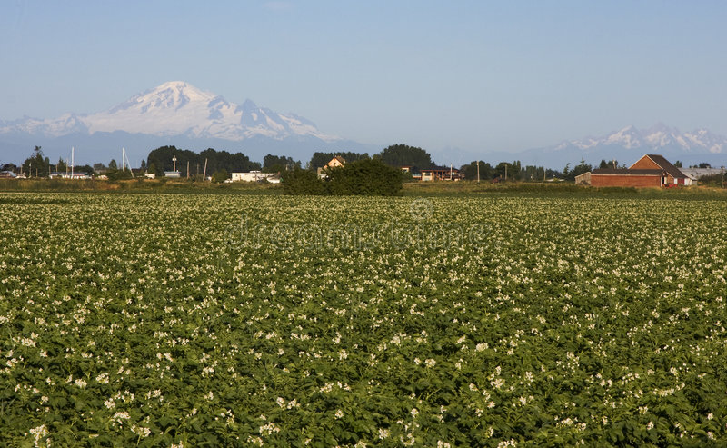 Potato Field And Mount Baker Royalty Free Stock Images