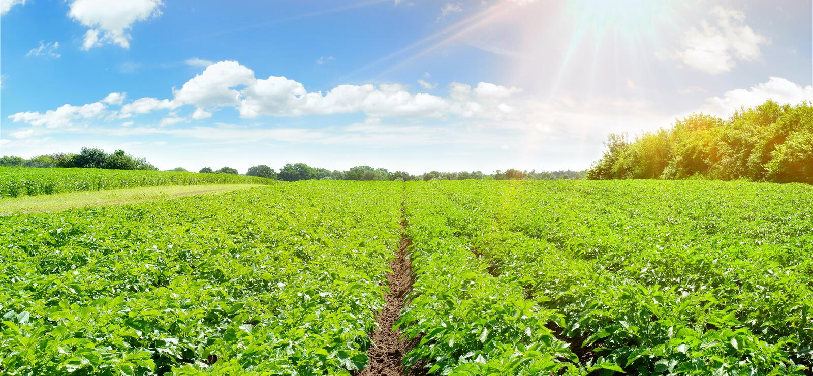 Potato Field - Panorama. In Summertime stock photography