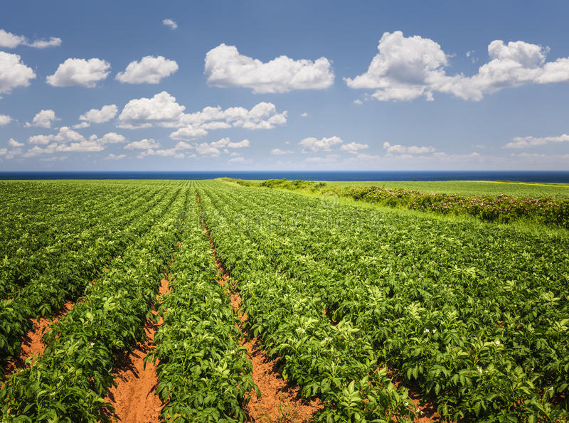 Potato field in Prince Edward Island. Rows of potato plants growing in large farm field at Prince Edward Island, Canada stock photo