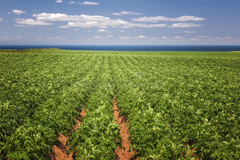 Potato field in Prince Edward Island. Rows of potato plants growing in large farm field at Prince Edward Island, Canada royalty free stock photography