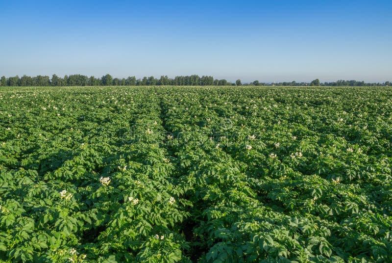 Potato field in summer stock image