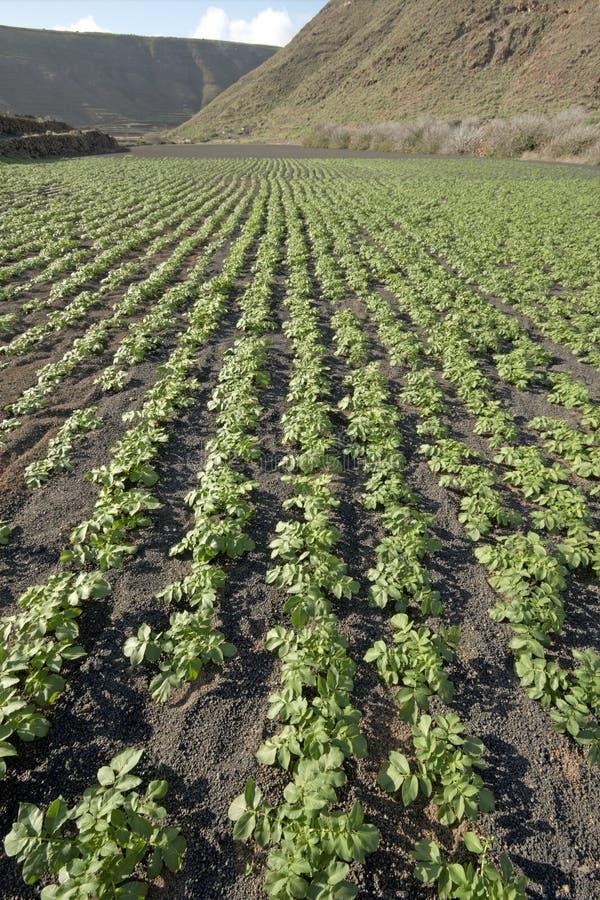 Potato field in volcanic soil, Lanzarote royalty free stock image