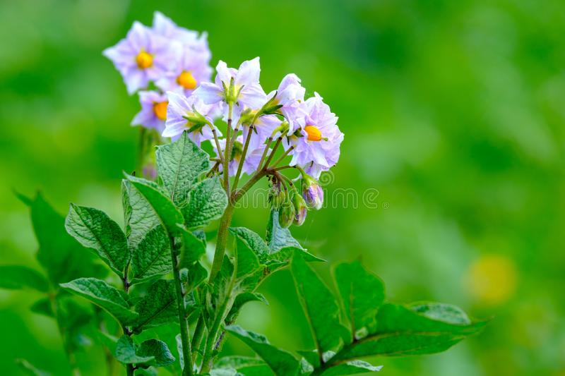 Potato flower lilac on the background of green trees, blurred background stock image