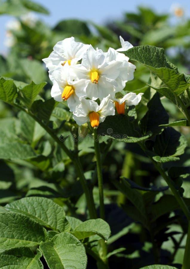 Potato flowers royalty free stock photography