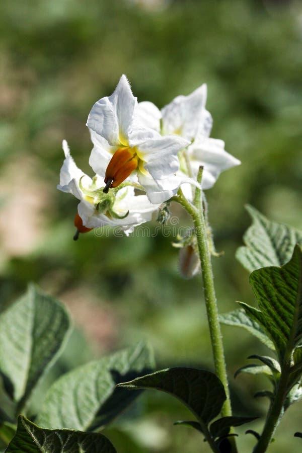 Download Potato flowers stock image. Image of flower, gardening - 20090169