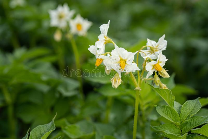 Potato flowers and green leaves. Potato field in the Netherlands. Summer. Flowering potato. Potato flowers blossom in sunlight grow in plant. White blooming royalty free stock images