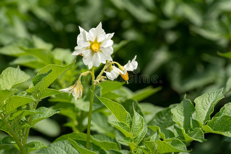 Potato flowers and green leaves. Potato field in the Netherlands. Summer. Flowering potato. Potato flowers blossom in sunlight grow in plant. White blooming stock images