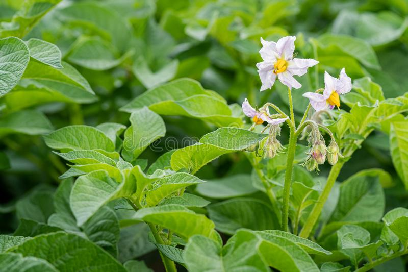 Potato flowers and green leaves. Potato field in the Netherlands. Summer. Flowering potato. Potato flowers blossom in sunlight grow in plant. White blooming stock photography