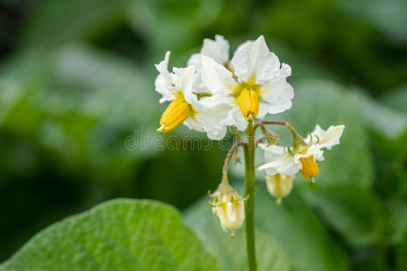 Potato flowers and green leaves. Potato field in the Netherlands. Summer. Flowering potato. Potato flowers blossom in sunlight grow in plant. White blooming stock photo
