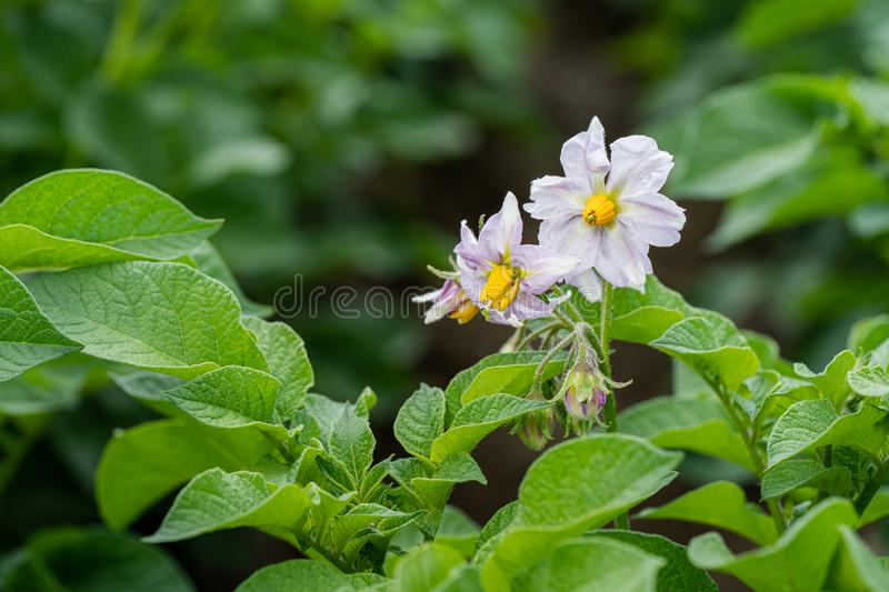 Potato flowers and green leaves. Potato field in the Netherlands. Summer. Flowering potato. Potato flowers blossom in sunlight grow in plant. White blooming stock image