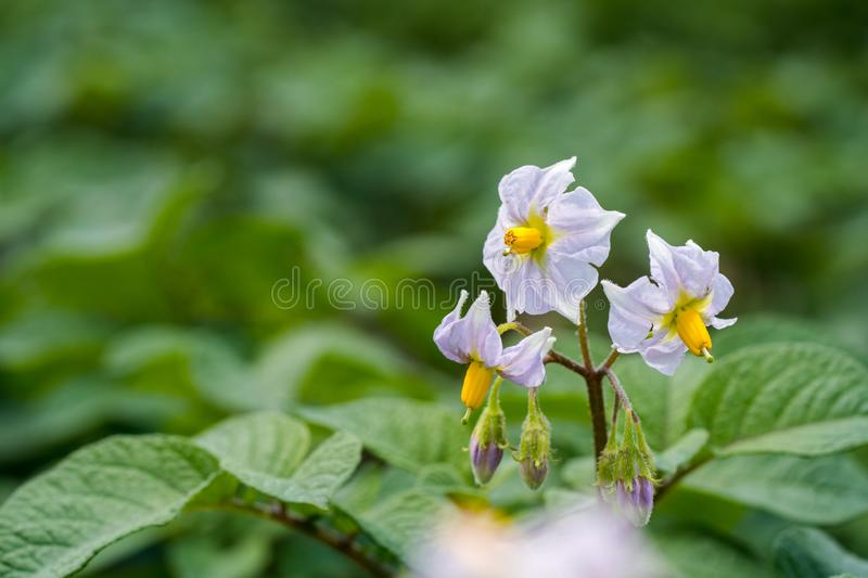 Potato flowers and green leaves. Potato field in the Netherlands. Summer. Flowering potato. Potato flowers blossom in sunlight grow in plant. White blooming royalty free stock photo