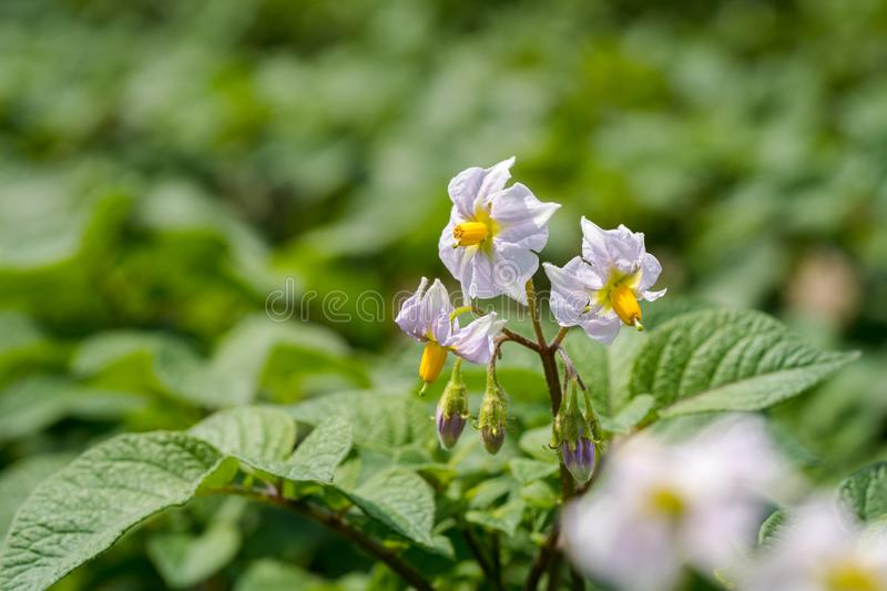 Potato flowers and green leaves. Potato field in the Netherlands. Summer. Flowering potato. Potato flowers blossom in sunlight grow in plant. White blooming royalty free stock photos