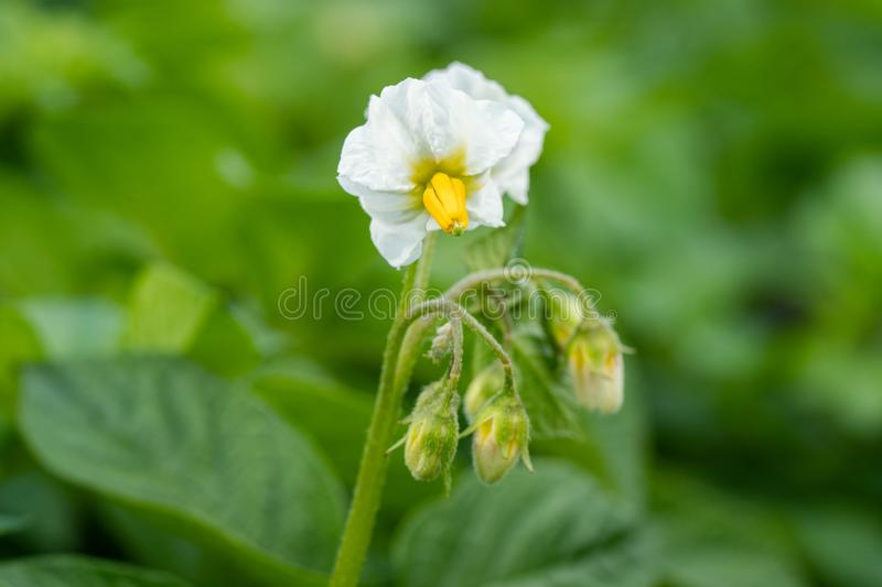 Potato flowers and green leaves. Potato field in the Netherlands. Summer. Flowering potato. Potato flowers blossom in sunlight grow in plant. White blooming royalty free stock photography