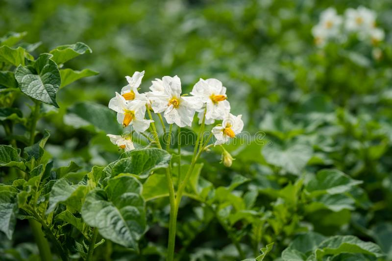 Potato flowers and green leaves. Potato field in the Netherlands. Summer. Flowering potato. Potato flowers blossom in sunlight grow in plant. White blooming stock photos