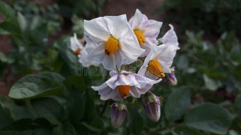Potato flowers stock images