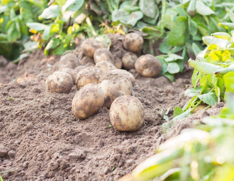 Potato. Freshly dug potatoes on a field royalty free stock images