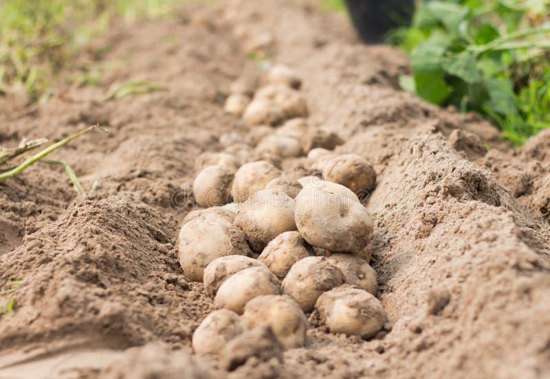 Potato. Freshly dug potatoes on a field royalty free stock photos
