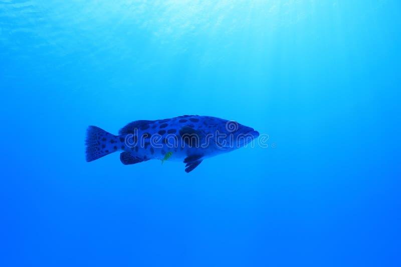Potato grouper fish. Epinephelus tukula underwater in the Great Barrier Reef of Australia stock photo