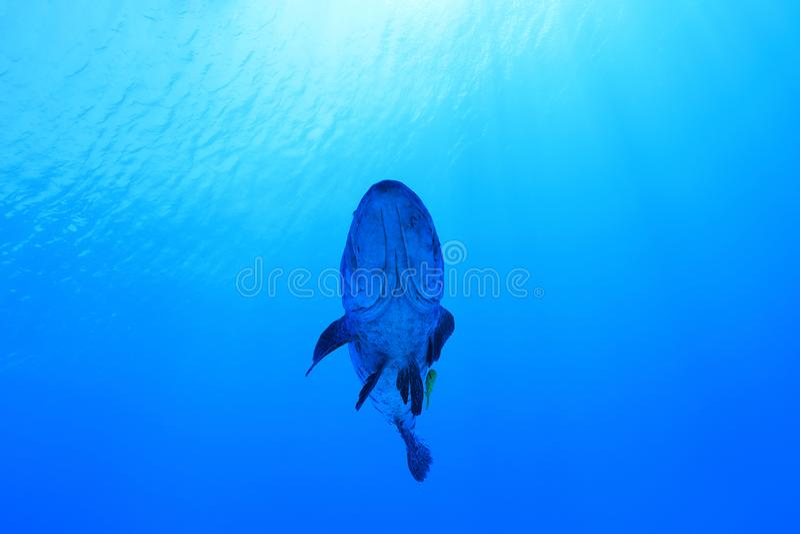 Potato grouper fish. Epinephelus tukula underwater in the Great Barrier Reef of Australia royalty free stock image