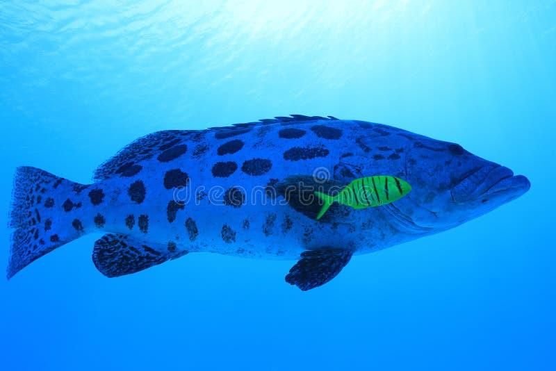 Potato grouper fish. Epinephelus tukula underwater in the Great Barrier Reef of Australia stock photos