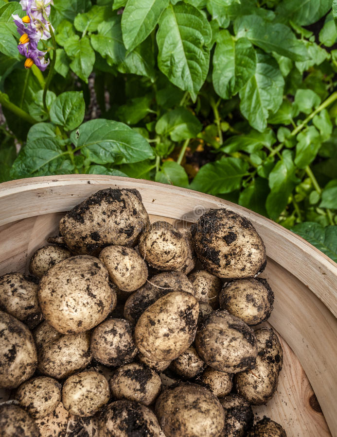Download Potato Harvest stock image. Image of crop, earth, allotment - 37281837