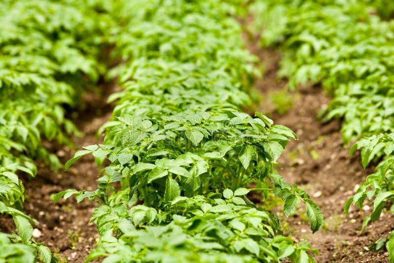 Download Potato leaves stock photo. Image of harvest, leaf, farming - 14456422