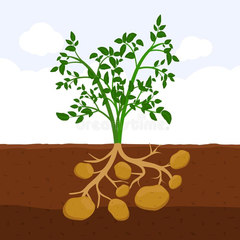 Potato with leaves and roots in soil, Fresh organic vegetable garden plant growing underground, Cartoon flat vector. stock illustration