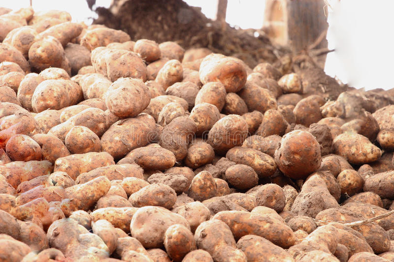 Download Potato Pile stock image. Image of crops, rural, crop - 21608803