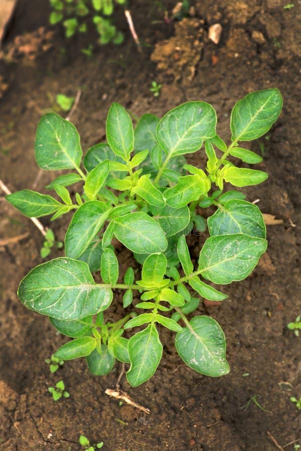 Potato plant stock image