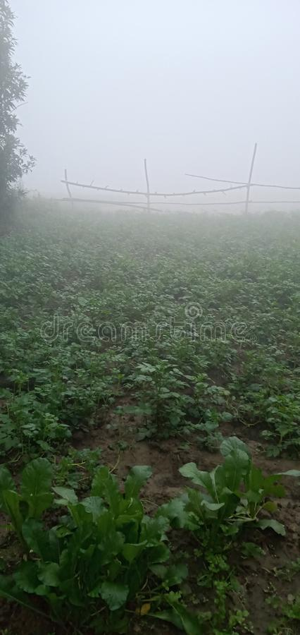 Potato and caret plant growing in former field stock photography