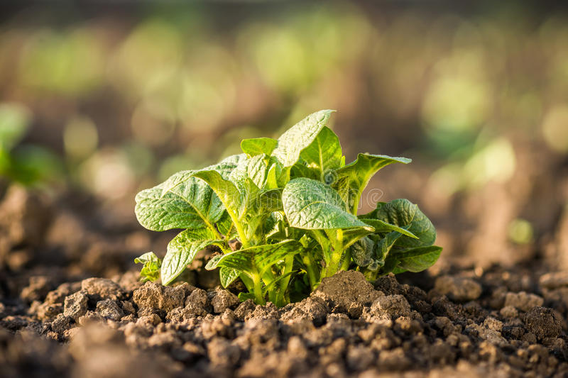 Potato plant growing on soil. royalty free stock images