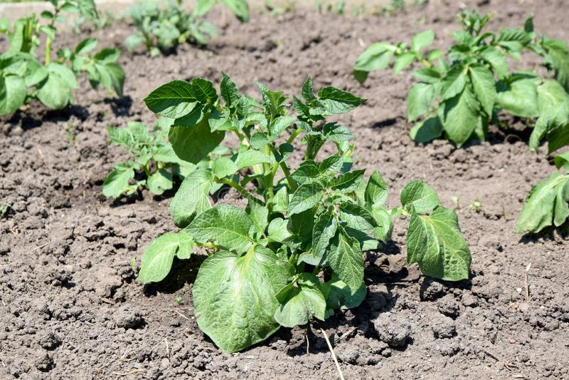 Potato Plant Solanum Tuberosum Home Gardening Planting Stock Photo. Potato Plant Solanum Tuberosum Home Gardening Planting Vegetable Stock Photo royalty free stock photography