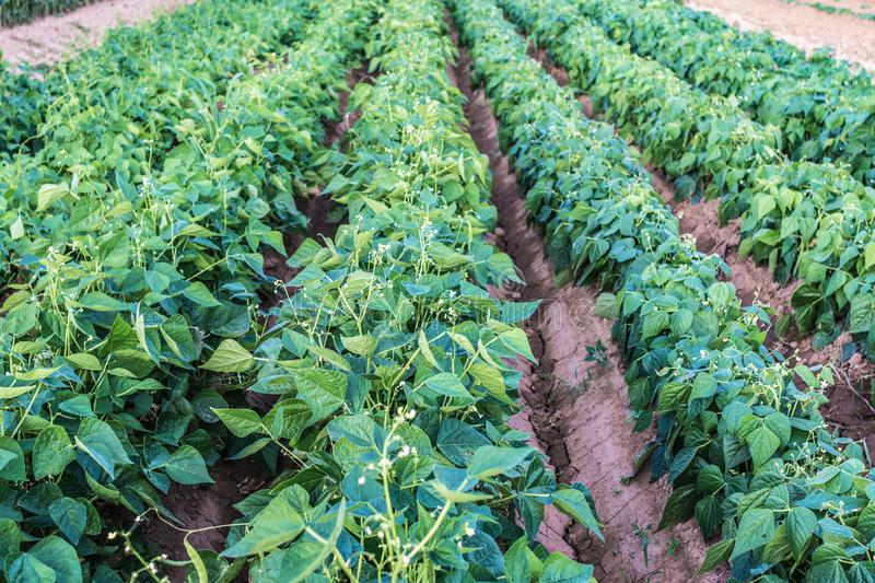 Potato plant in summer in a groove.  stock image