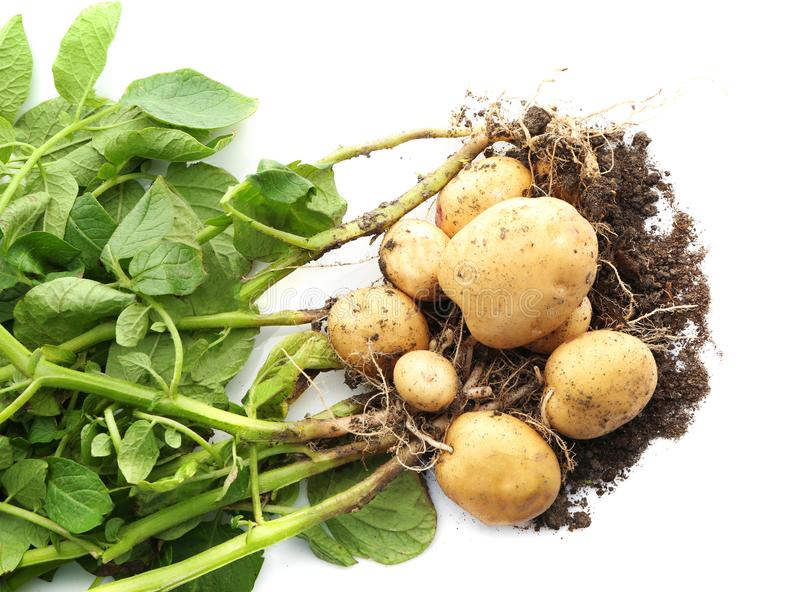 Potato plant with tubers royalty free stock images