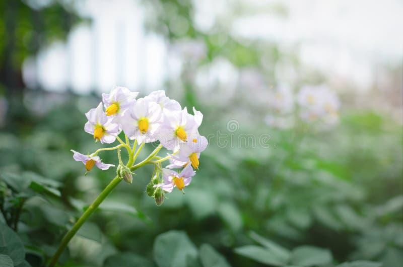 Potato plant. Young potato plant stems field close up photo stock photography
