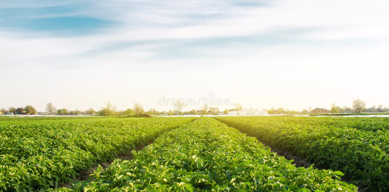 Potato plantation grow in the field. Vegetable rows. Farming, agriculture. Landscape with agricultural land. Fresh Organic royalty free stock photography