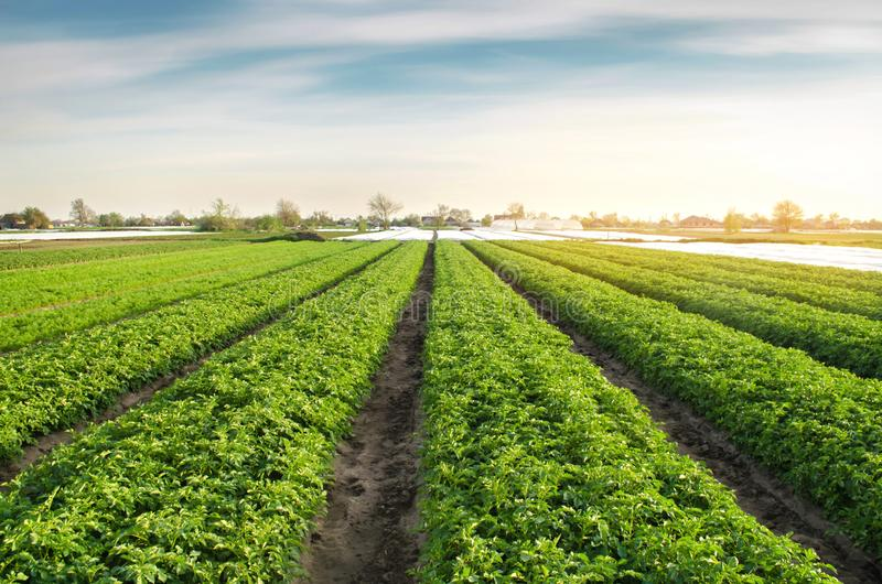 Potato plantations are grow on the field on a sunny day. Growing organic vegetables in the field. Vegetable rows. Agriculture. Farming. Selective focus royalty free stock images