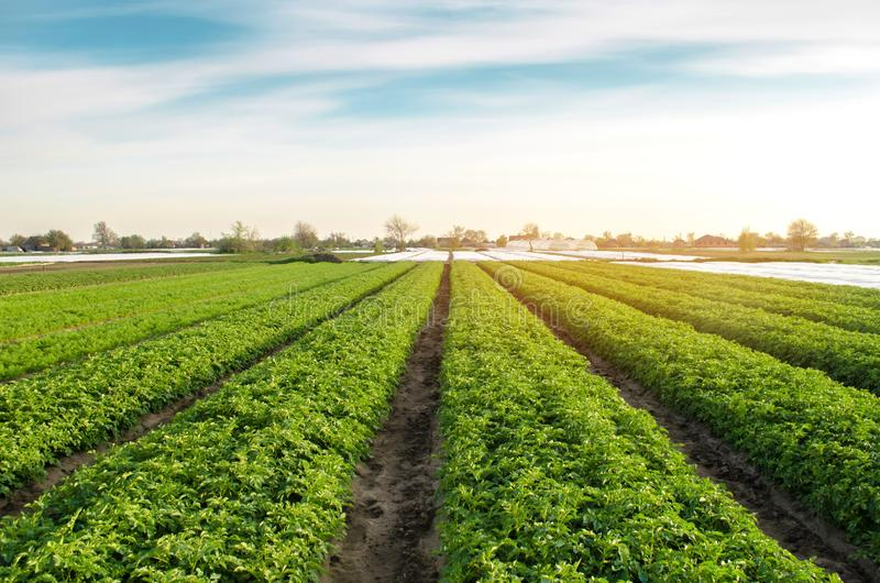 Potato plantations are grow on the field on a sunny day. Growing organic vegetables in the field. Vegetable rows. Agriculture. stock image