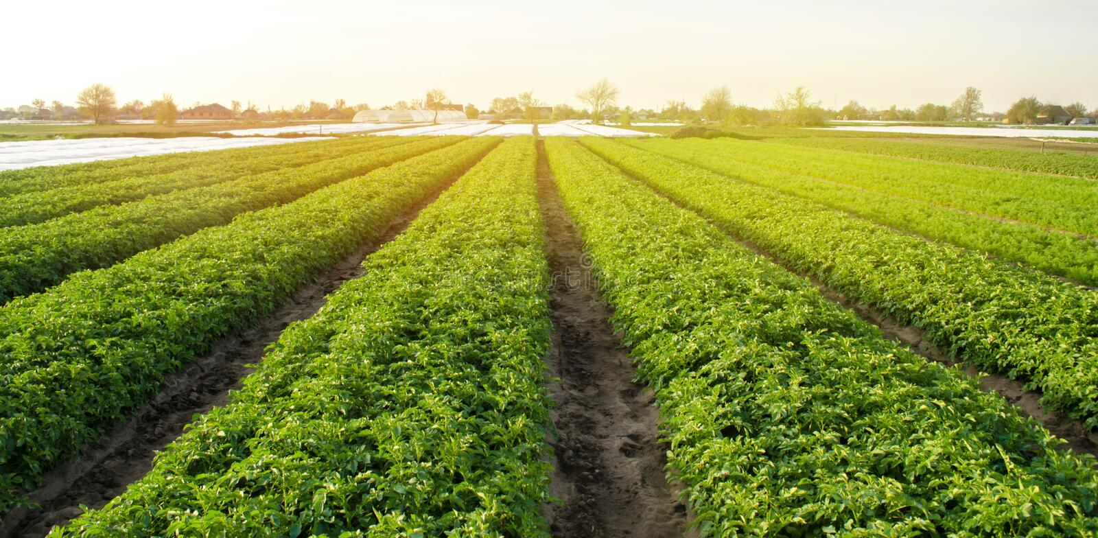 Potato plantations are grow on the field on a sunny day. Growing organic vegetables in the field. Vegetable rows. Agriculture. stock images