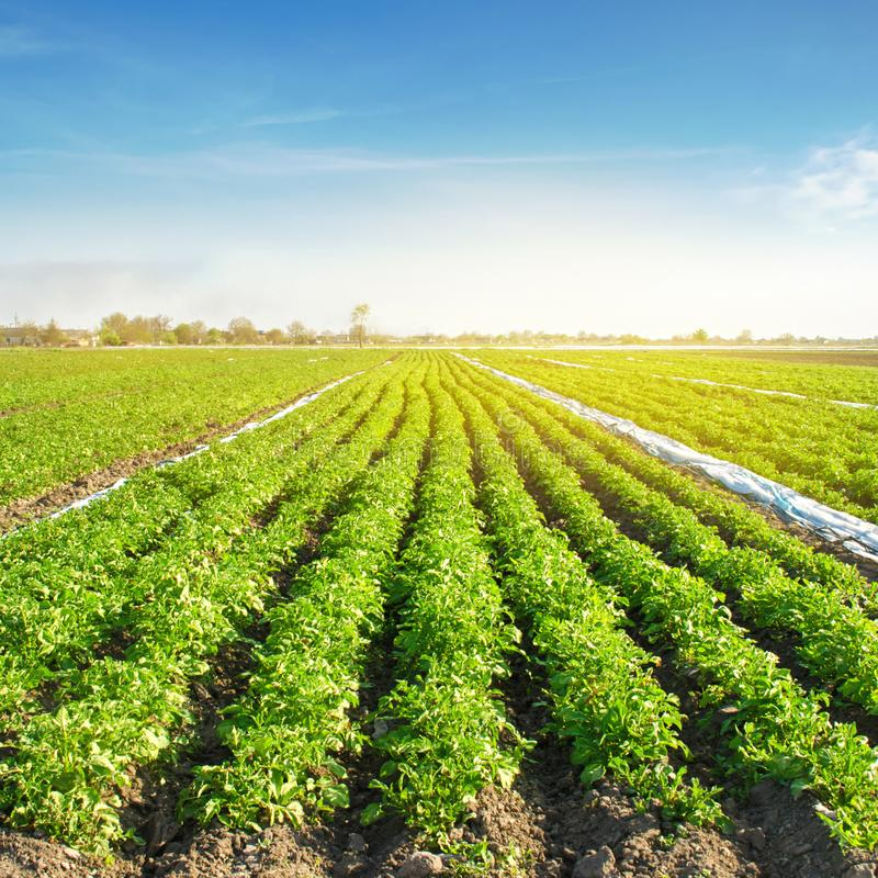 Potato plantations are grow on the field on a sunny day. Growing organic vegetables in the field. Vegetable rows. Agriculture. Farming. Selective focus royalty free stock photography