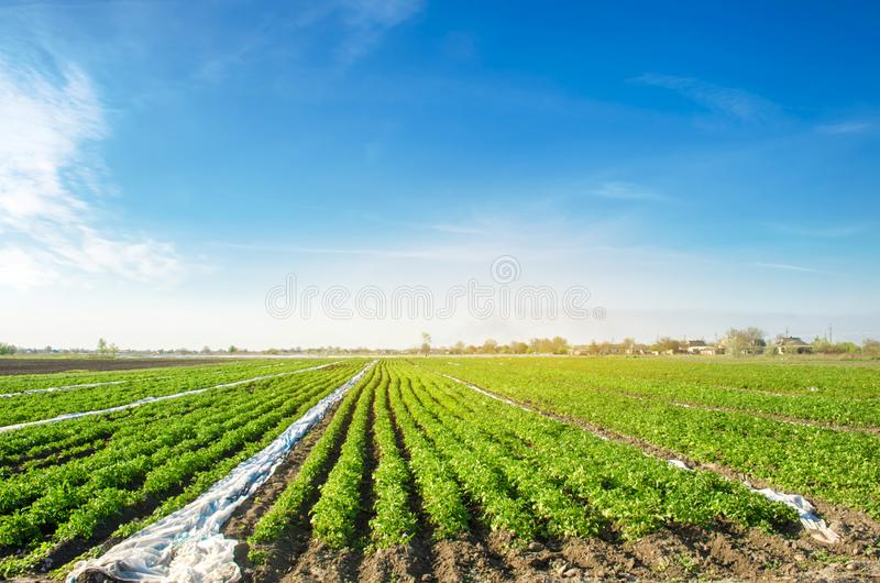 Potato plantations are grow on the field on a sunny day. Growing organic vegetables in the field. Vegetable rows. Agriculture. royalty free stock image