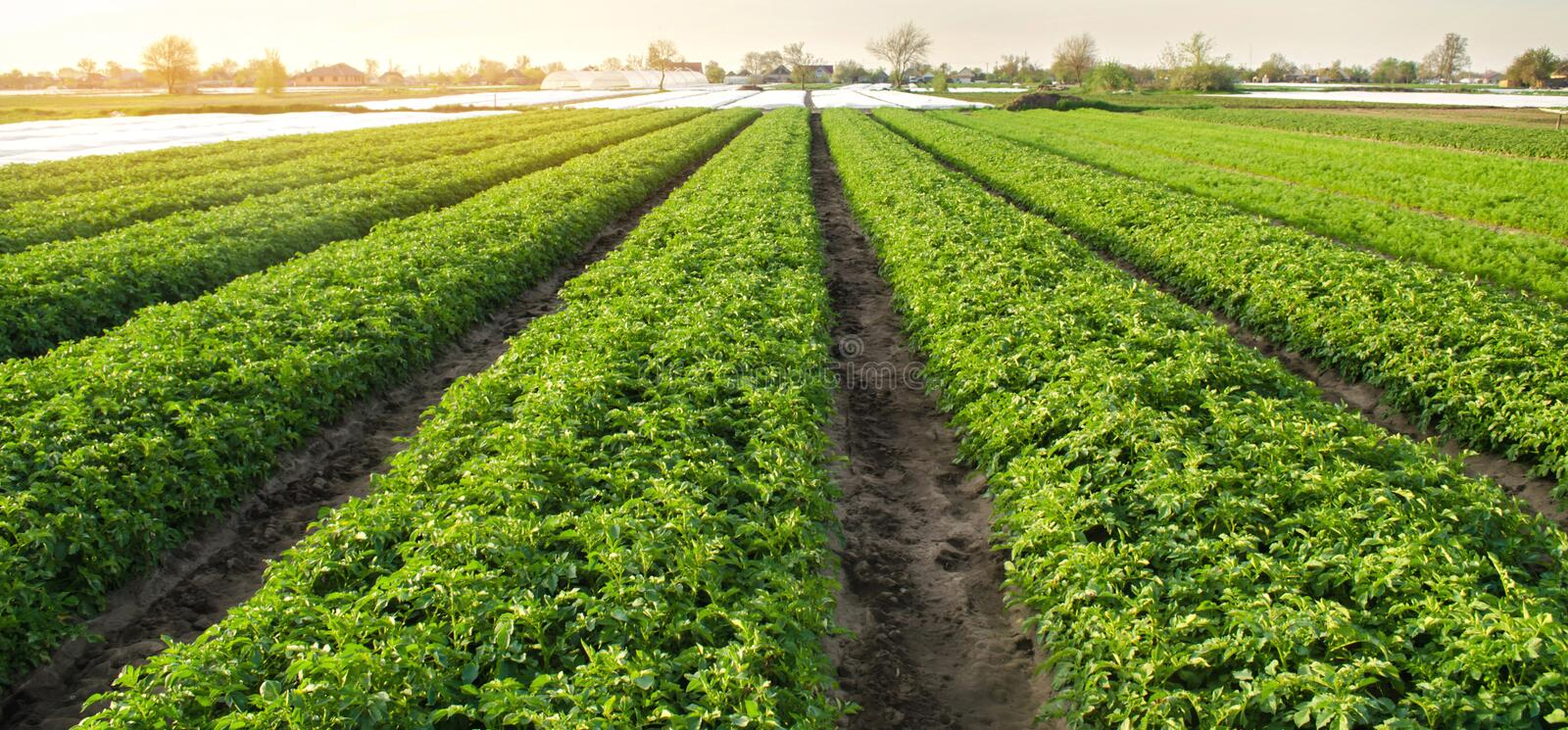 Potato plantations are grow on the field on a sunny day. Growing organic vegetables in the field. Vegetable rows. Agriculture. Farming. Selective focus royalty free stock image