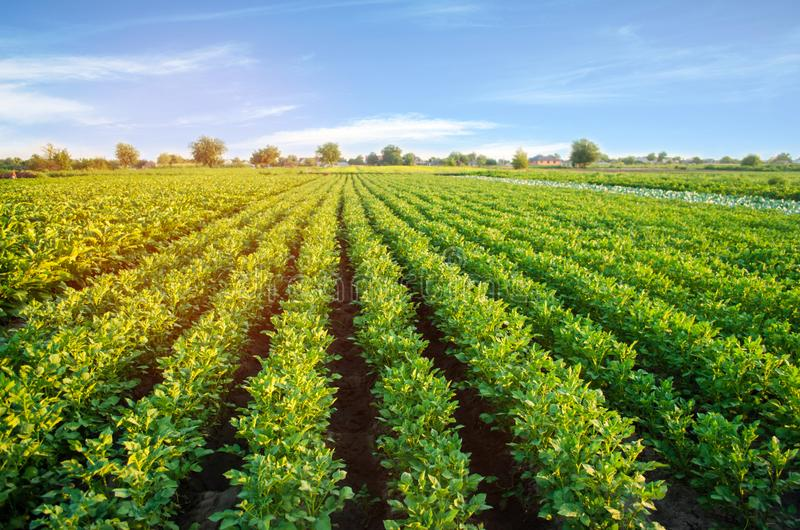 Potato plantations grow in the field. vegetable rows. farming, agriculture. Landscape with agricultural land. crops.  royalty free stock photos