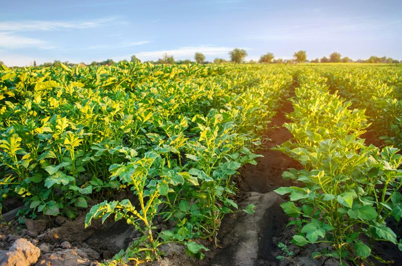 Potato plantations grow in the field. vegetable rows. farming, agriculture. Landscape with agricultural land. crops.  stock photos