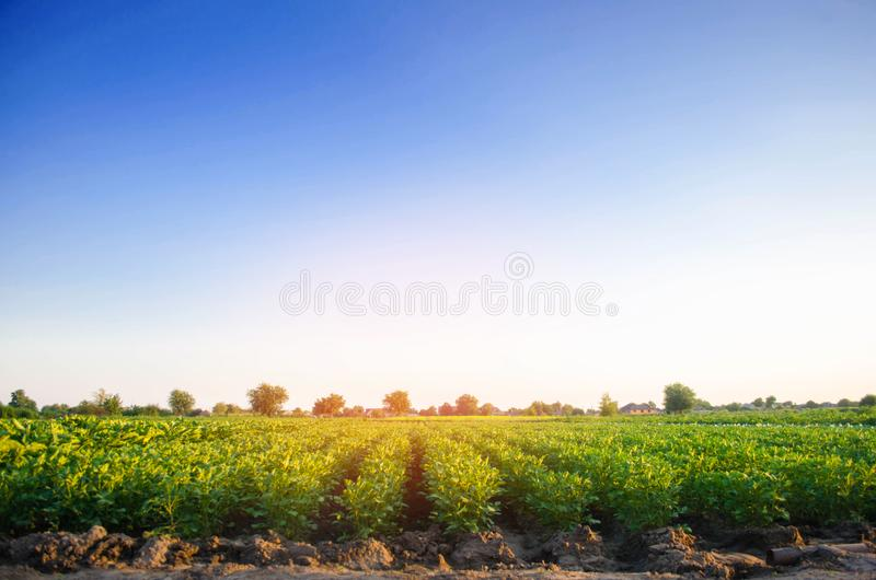 Potato plantations grow in the field. vegetable rows. farming, agriculture. Landscape with agricultural land. crops royalty free stock images
