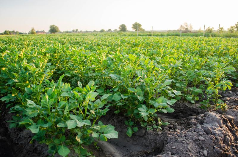 Potato plantations grow in the field. vegetable rows. farming, agriculture. Landscape with agricultural land. crops.  royalty free stock photo