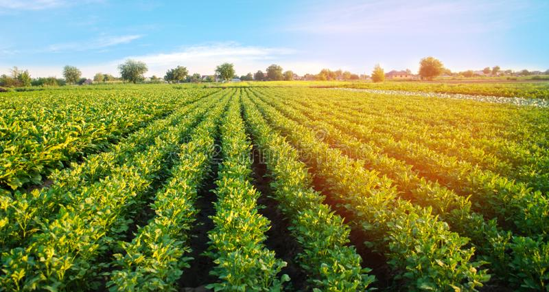 Potato plantations grow in the field. vegetable rows. farming, agriculture. Landscape with agricultural land. crops.  royalty free stock image